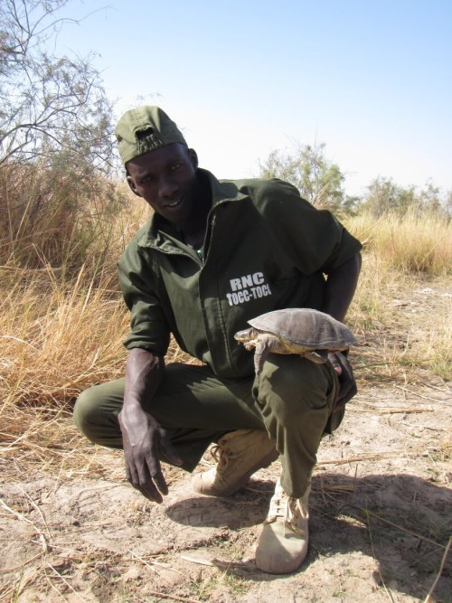 Eco-Guard Modou Diop with a female Adanson's Terrapin at nesting habitat in Tocc-Tocc Reserve