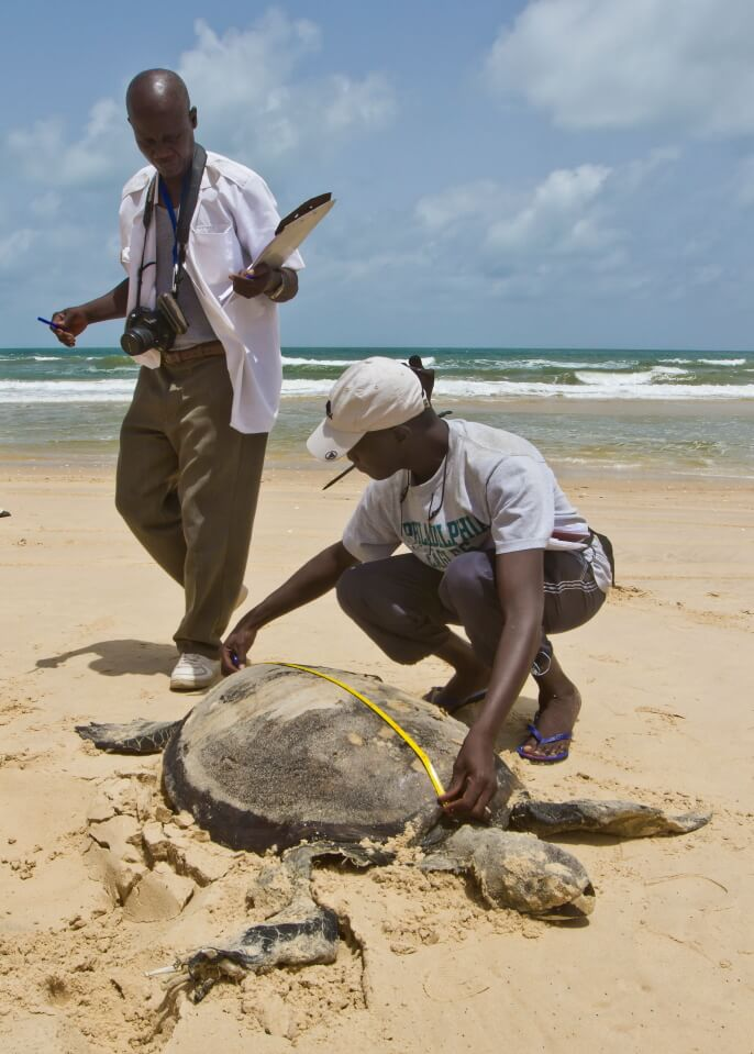 Kader taking morphometrics of a Chelonia mydas (Green Sea Turtle)