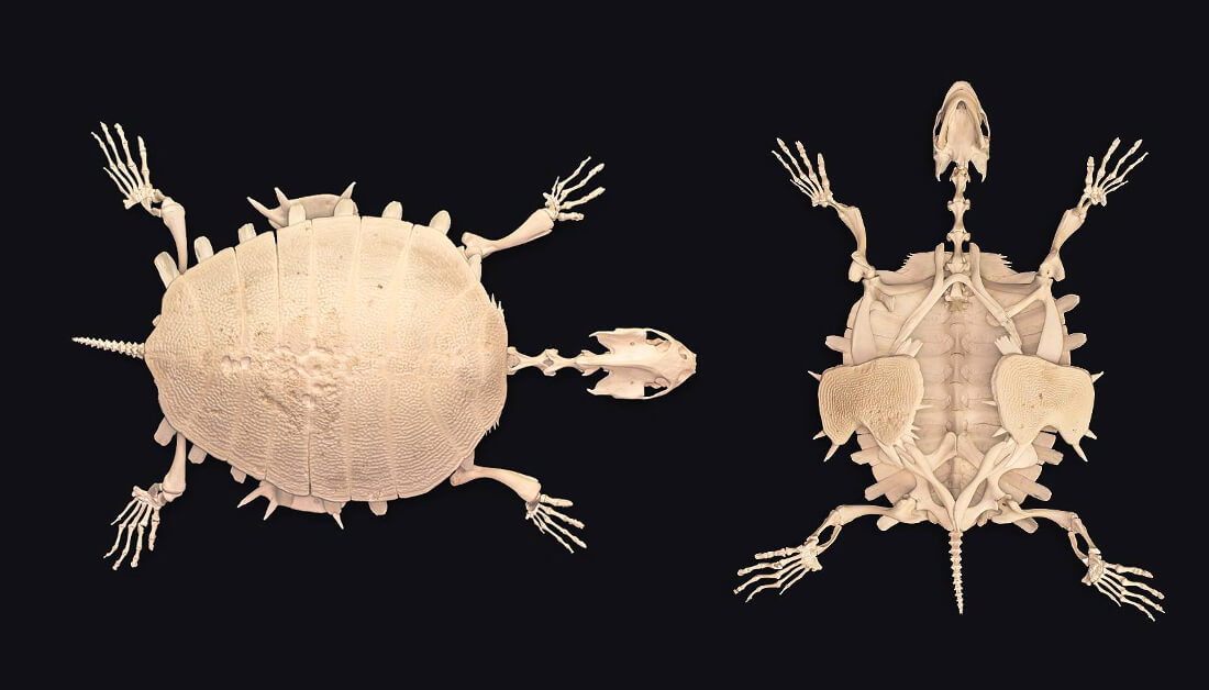 Articulated skeleton of a Nubian Flapshell Turtle (Cyclanorbis elegans)