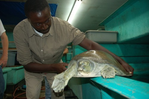 Tomas Diagne holding a critically endangered Nubian Flapshell Turtle (Cyclanorbis elegans)