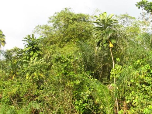 Typical Kinixys homeana habitat in Oueme, Benin