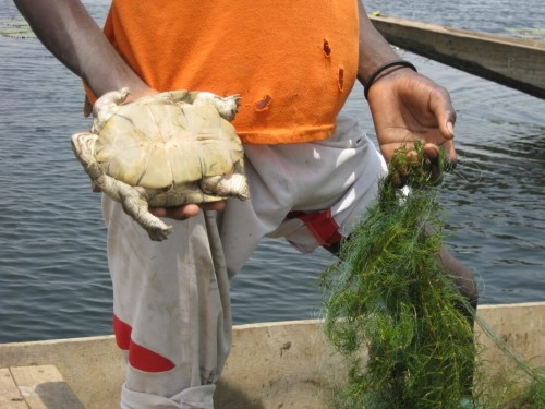 Young fisherman holding dead female P. adansonii caught in abandoned nets at Tocc-Tocc