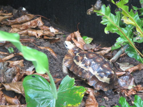 Beautiful specimen of the critically endangered Home's hingeback tortoise, Kinixys homeana at the Rhodin center - Senegal