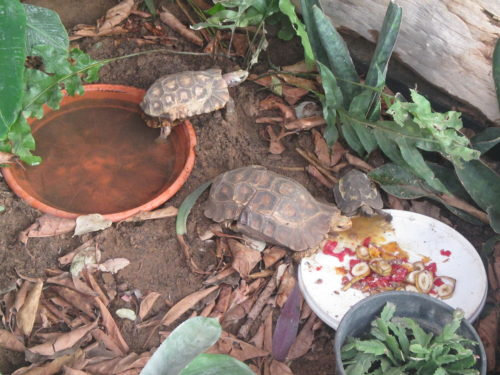 Feeding time for African hingeback tortoises, genus Kinixys at the Rhodin Center- Senegal