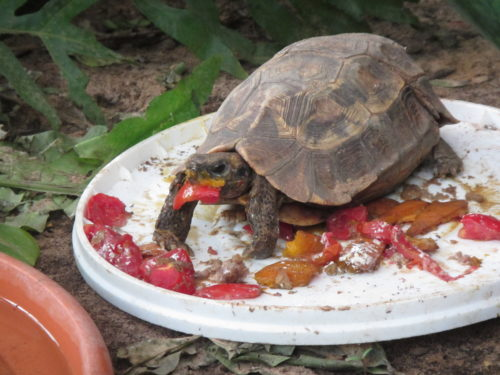 Feeding time for endangered serrated hingeback tortoise, Kinixys erosa at the Rhodin center- Senegal