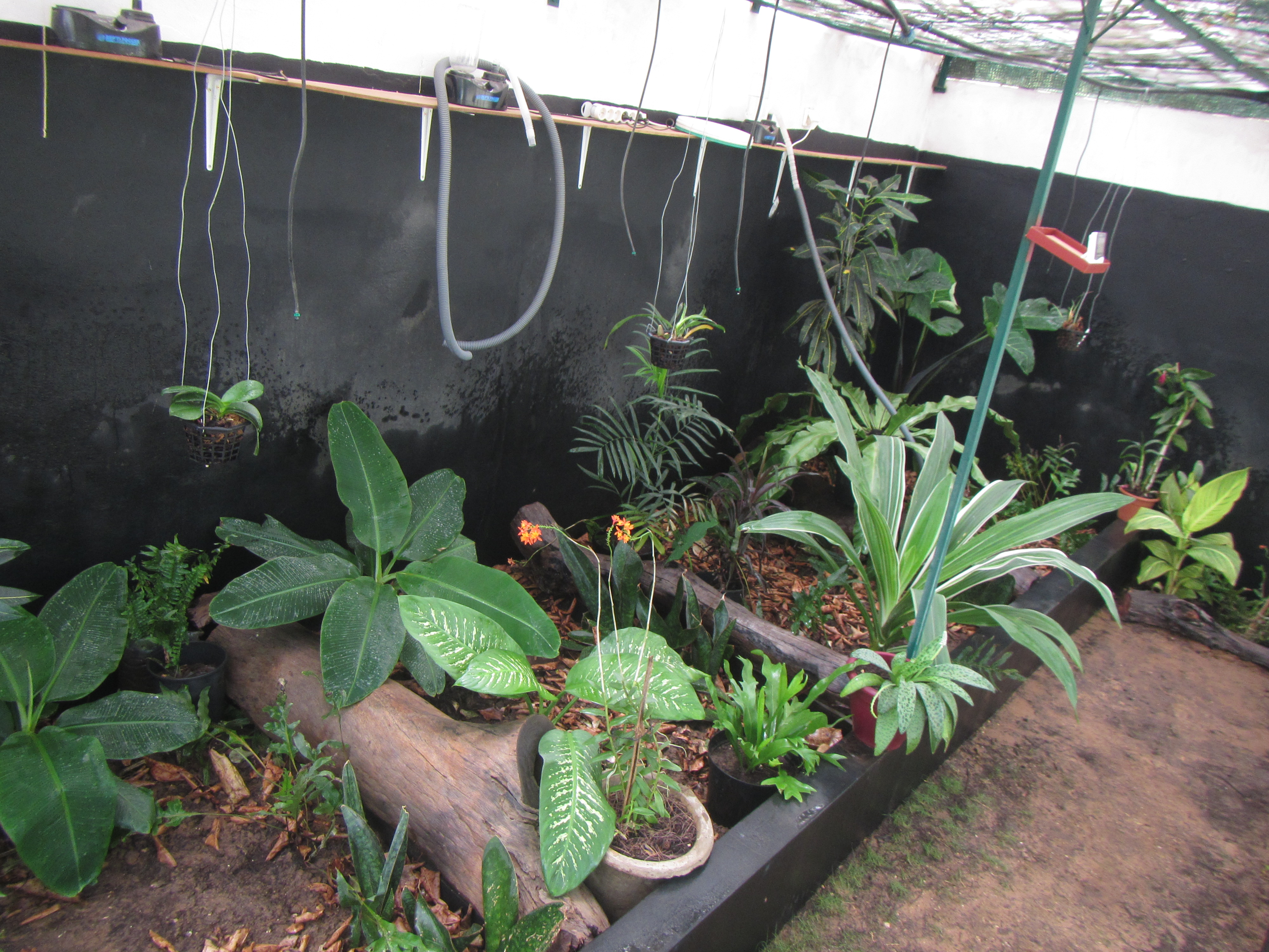 Inside the Rhodin Center greenhouse, area where we keep African hingeback forest species, genus Kinixys