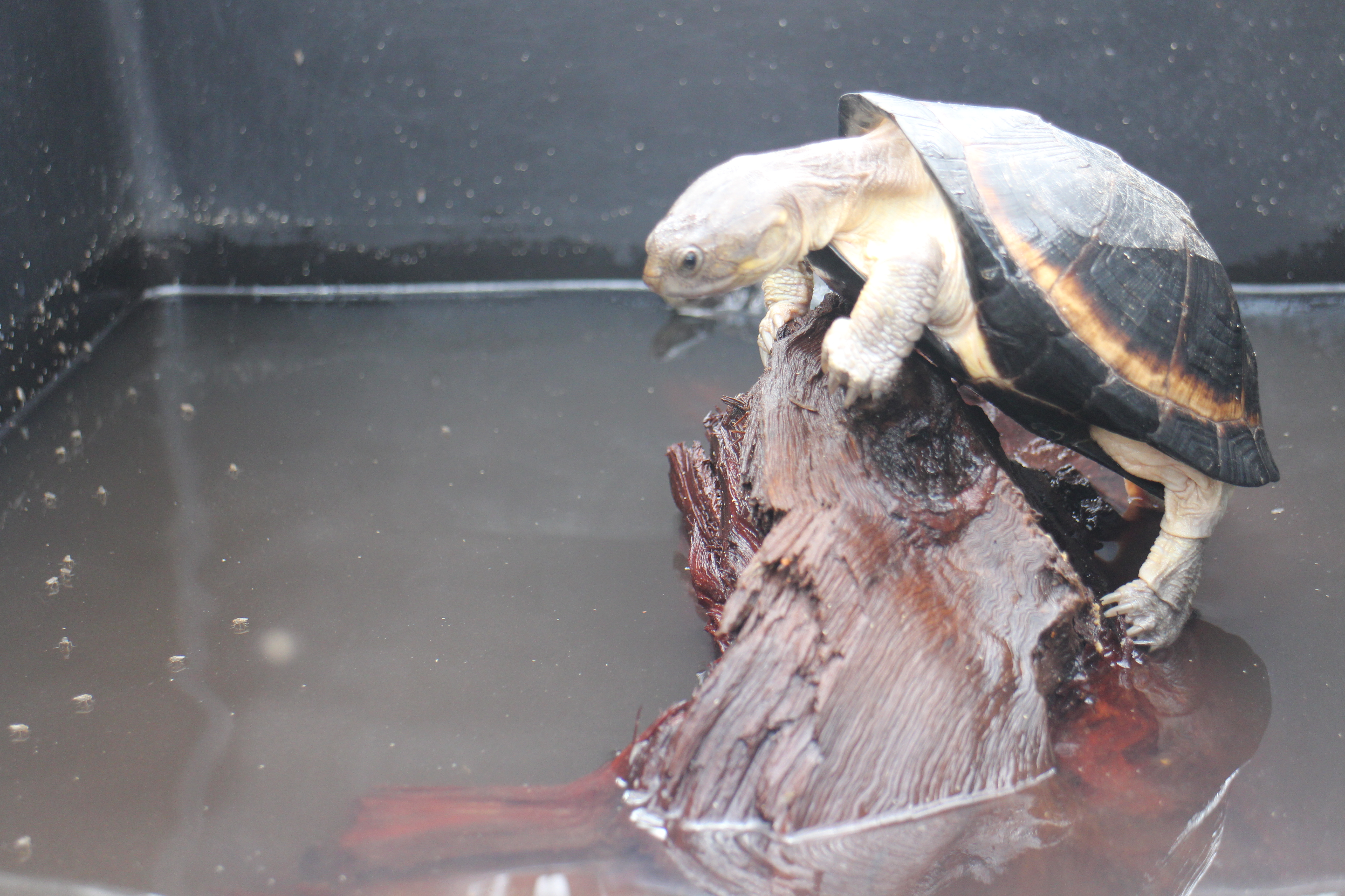 Upemba's terrapin, Pelusios upembae, basking inside a ZooMed turtle tub at the Rhodin Center - Senegal
